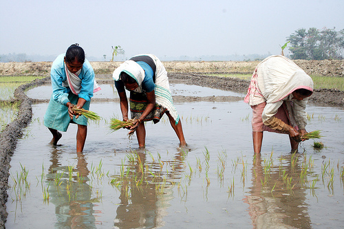 Cultivation by Diganta Talukdar